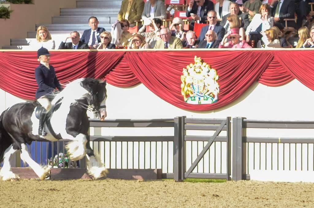 Double HOYS winning Multi National CHAMPION Elite Graded Traditional Stallion