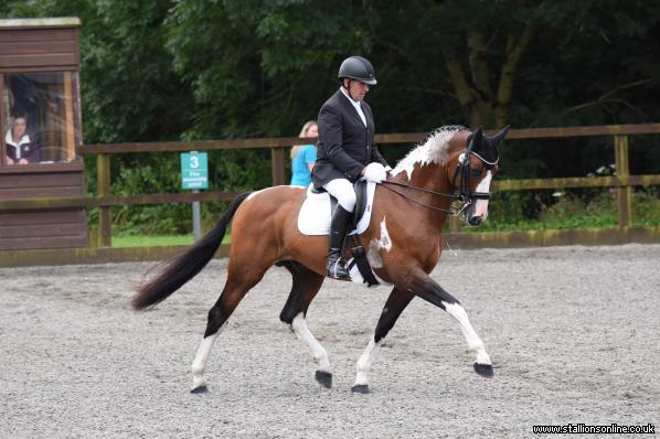 Graded Homozygous Warmblood Stallion WFFS N/N