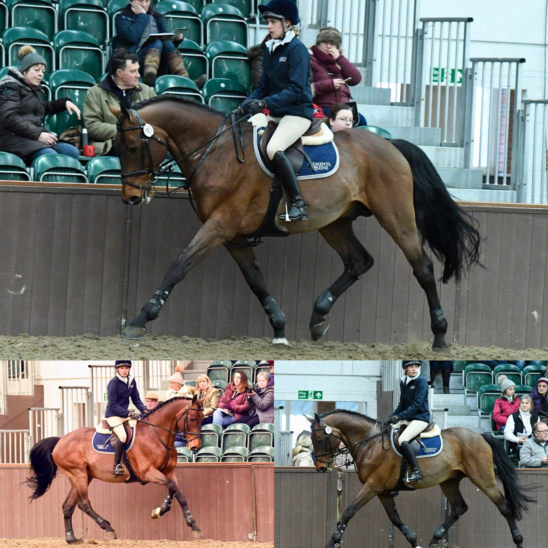 Superb Sport Stallion With Exceptional Bloodlines